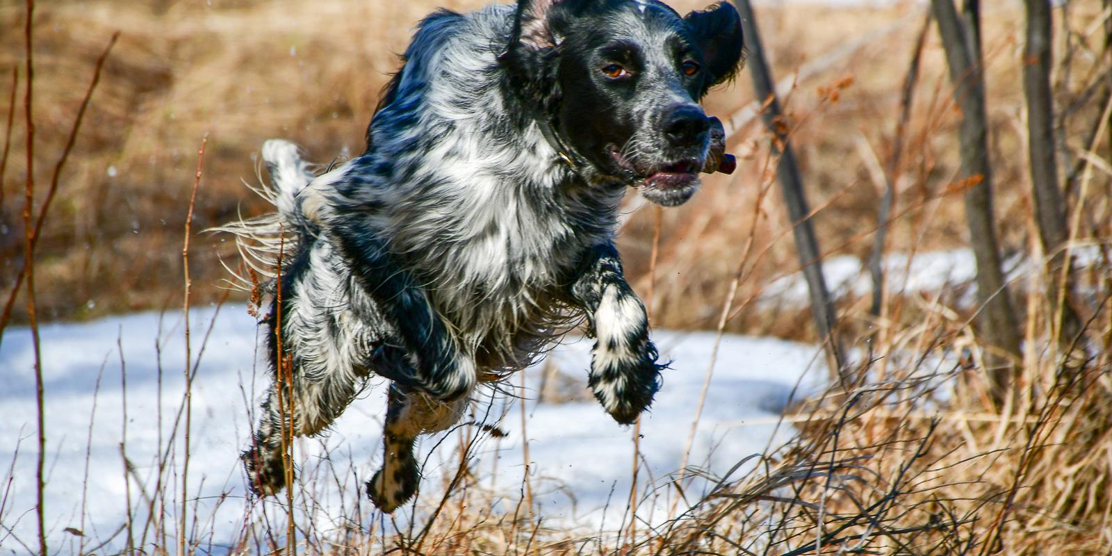 Activité sportive et reproduction chez la chienne de chasse